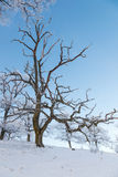 Bare oak tree Stock Images
