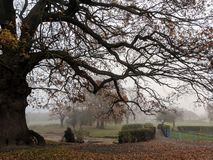 Bare oak tree branches in a misty park stock photography