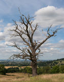 Bare oak tree in field Royalty Free Stock Photography