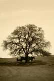 Bare Oak Tree and Horses in Winter Stock Photos