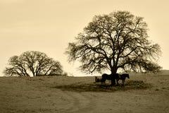 Bare Oak Tree and Horses in Winter. Sepia toned pastoral silhouette of bare oak tree and horses in Winter, California Stock Photo