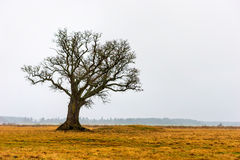 Bare oak tree Royalty Free Stock Photo