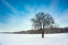 Bare Oak Tree in the Snowy Field Royalty Free Stock Photography