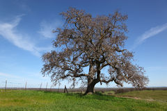 Bare Oak Tree and Spring Green Grass Royalty Free Stock Photos