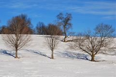 Bare oak tree teaching the hula to three other trees in a snow covered field. Sunny mid-winter day, bright blue skies, vibrant white snow Stock Image