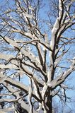 Bare oak tree under snow Stock Photo