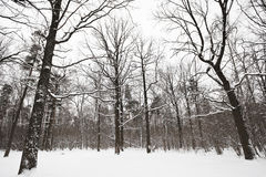 Bare oaks and pine trees in winter forest Royalty Free Stock Photography