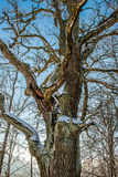 Bare old oak tree Royalty Free Stock Photo