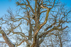 Bare old oak tree Royalty Free Stock Photos