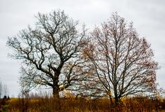 Bare old oak trees. In winter Royalty Free Stock Photography