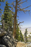 Bare Pine, San Jacinto Royalty Free Stock Images