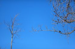 Bare pine tree with a bird Royalty Free Stock Images