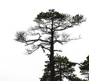 Bare pine tree branches Stock Photography