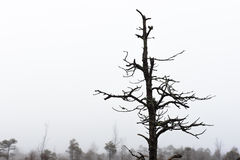 Bare pine tree branches Royalty Free Stock Images