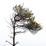 Bare pine tree branches Stock Images