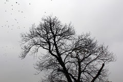Bare plane tree and birds in the winter Royalty Free Stock Photo