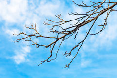 Bare quince tree twig with blue sky background Stock Photo