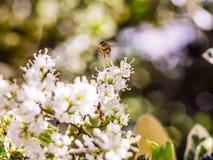 Bare-saddled Colletes or Plasterer Bee Colletes similis feedin Royalty Free Stock Photos