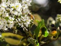 Bare-saddled Colletes or Plasterer Bee Colletes similis feedin Royalty Free Stock Images