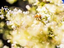 Bare-saddled Colletes or Plasterer Bee Colletes similis feedin Stock Photo