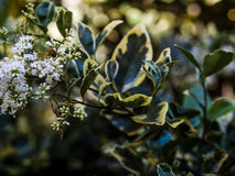 Bare-saddled Colletes or Plasterer Bee Colletes similis feedin Royalty Free Stock Photography