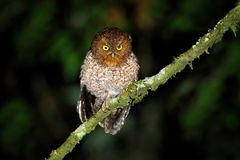 Bare-shanked Screech-owl, Megascops clarkii, little owl in the nature habitat, sitting on the green tree branch, forest in the bac royalty free stock photography