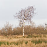 Bare Silver birch (Betula pendula) Stock Photos