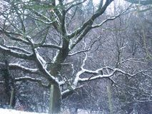 Bare, snow laden tree. A bare, snow laden tree in the foreground with a tangle of branches in the background Stock Photos