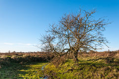 Bare solitairy tree in a nature reserve Royalty Free Stock Photo