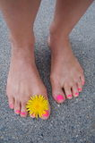 Bare summer feet. Female bare feet, with dandelion flower between toes, pink polished toenails, walking on paved sidewalk Royalty Free Stock Images
