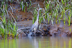 Bare-throated Tiger Heron Stock Image