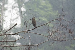 Bare-throated Tiger-heron Royalty Free Stock Images