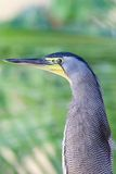 Bare Throated Tiger Heron Royalty Free Stock Photography