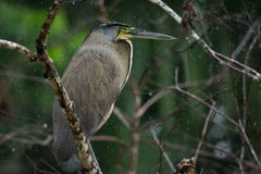 Bare-throated Tiger-heron Royalty Free Stock Photography
