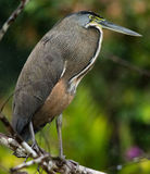 Bare-throated Tiger-heron Royalty Free Stock Image