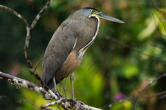 Bare-throated Tiger-heron. Standing on a branch in rain, Cano Negro Wetland, Costa Rica Stock Image
