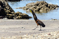 Bare-throated tiger heron (Tigrisoma mexicanum). Displaying on a shore (Montezuma, Costa Rica Royalty Free Stock Image