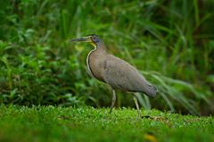 Bare-throated Tiger-Heron, Tigrisoma mexicanum, in nature green vegetation. Action wildlife scene from Costa Rica forest. Heron in. Forest Stock Images