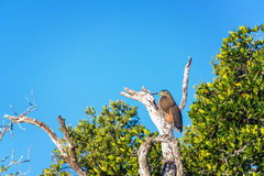 Bare Throated Tiger Heron in a Tree Stock Photos