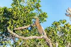 Bare Throated Tiger Heron Stock Photo