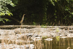 Bare-throated tiger heron on a tree trunk Royalty Free Stock Photos