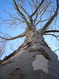 Bare Tree. Looking up a bare tree Stock Images