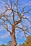 Bare tree Royalty Free Stock Photo