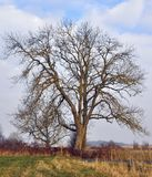 Bare tree Stock Photography