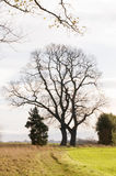 Bare tree. On a meadow during autumn royalty free stock images