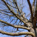 Bare tree Royalty Free Stock Photo