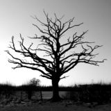 Bare tree. A bare tree in Autumn Royalty Free Stock Photography