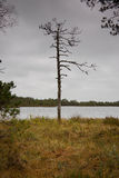 Bare tree. A low light photo of a single dead pinetree by the lake in a bog in an early cloudy morning Royalty Free Stock Photography