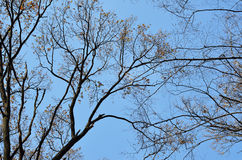 Bare tree against the blue sky Royalty Free Stock Photo