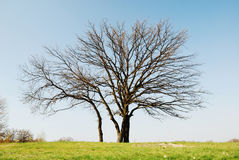 Bare tree against the blue sky. Early spring Royalty Free Stock Photography